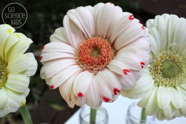 Changing the colour of gerberas science experiment