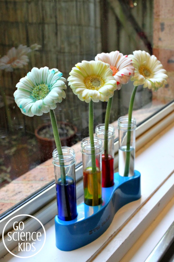 Colour changing flowers - science for kids