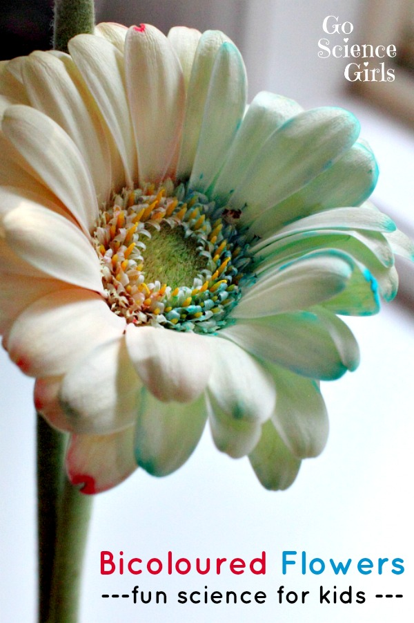 Bicoloured Flowers - fun science experiment for kids