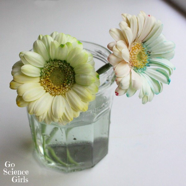 How to dye bicolour flowers - fun science experiment for kids