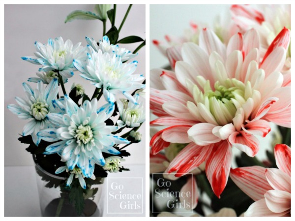 Blue and red flecked chrysanthemums