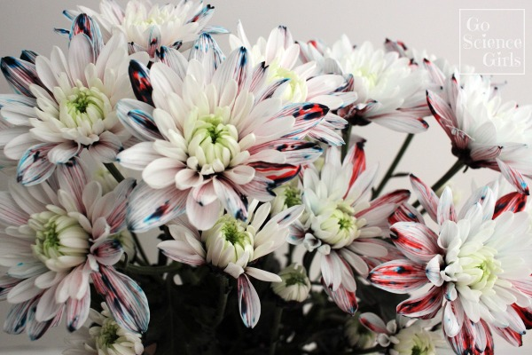 Dying white chrystanthemums with flecks of red and blue