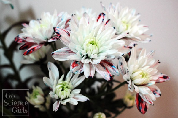 Red, white and blue dyed flowers