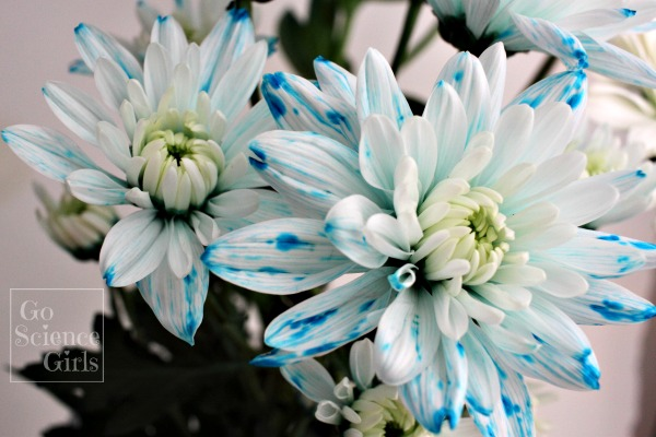Stunning blue and white chrysanthemum flowers