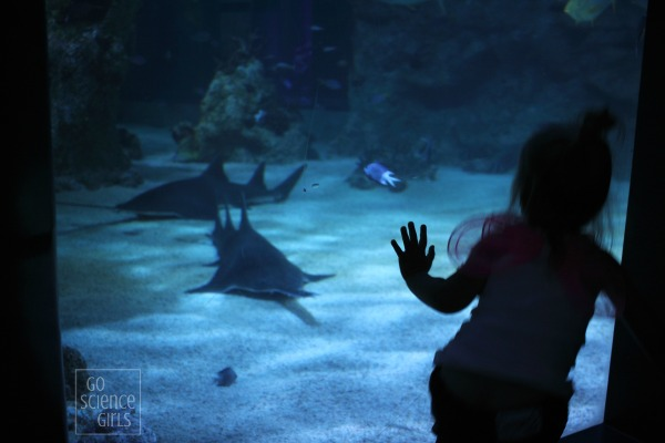 Watching the sawfish at Sydney Aquarium