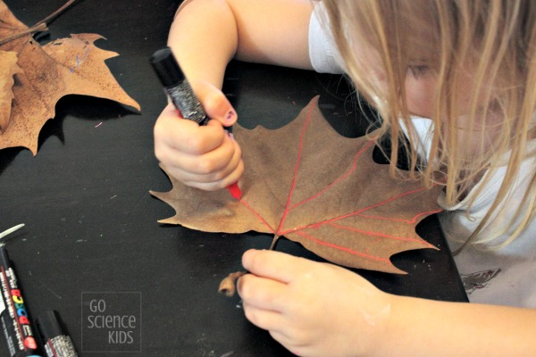 Tracing the veins of a autumn fall leaf