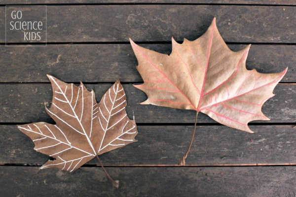 Tracing the veins of a leaf - leaf biology science for preschoolers