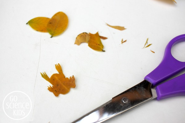 Cutting out a northern corroboree frog leaf