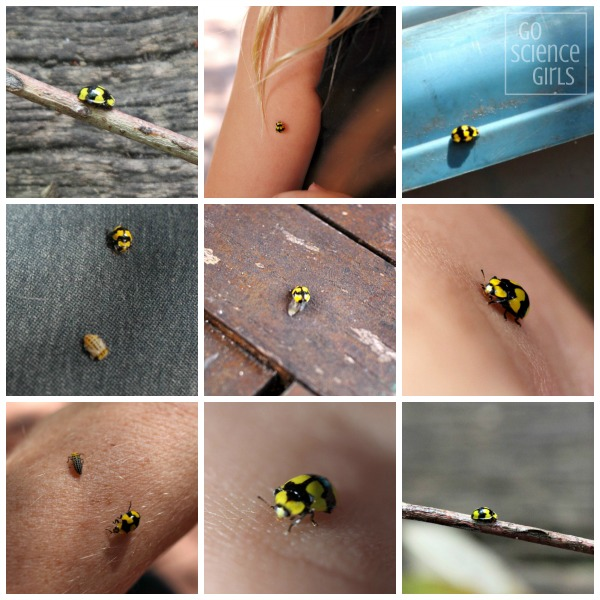 Collage of photos of the fungus-eating ladybird, including adult, pupa and larva images.