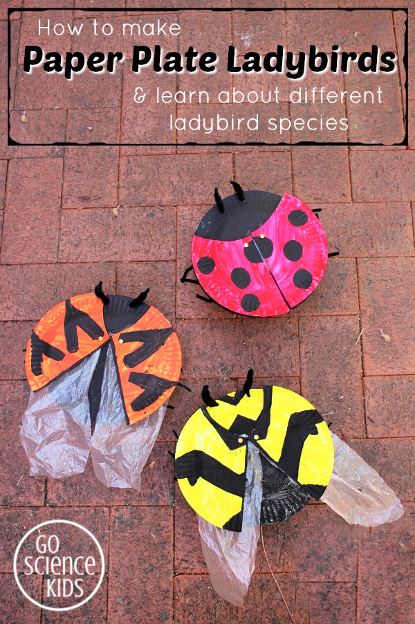 How to make paper plate ladybirds (ladybugs) and learn about different ladybird or ladybug species. Fun insect entomology biology nature scienc