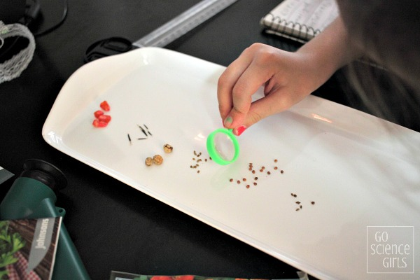 Studying and comparing vegetable seeds - fun nature study science activity for kids