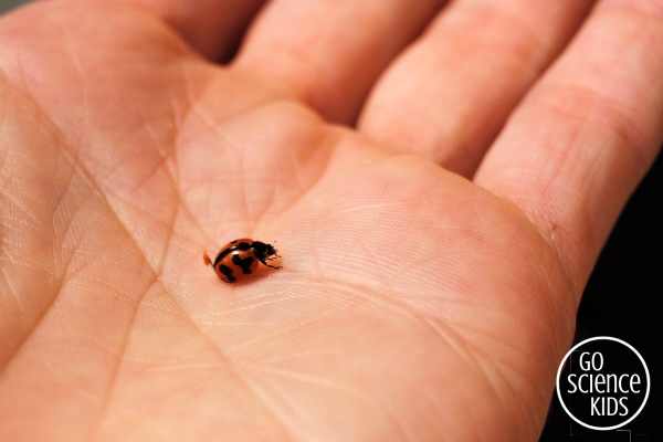 Tiny transverse ladybird with orange and black markings