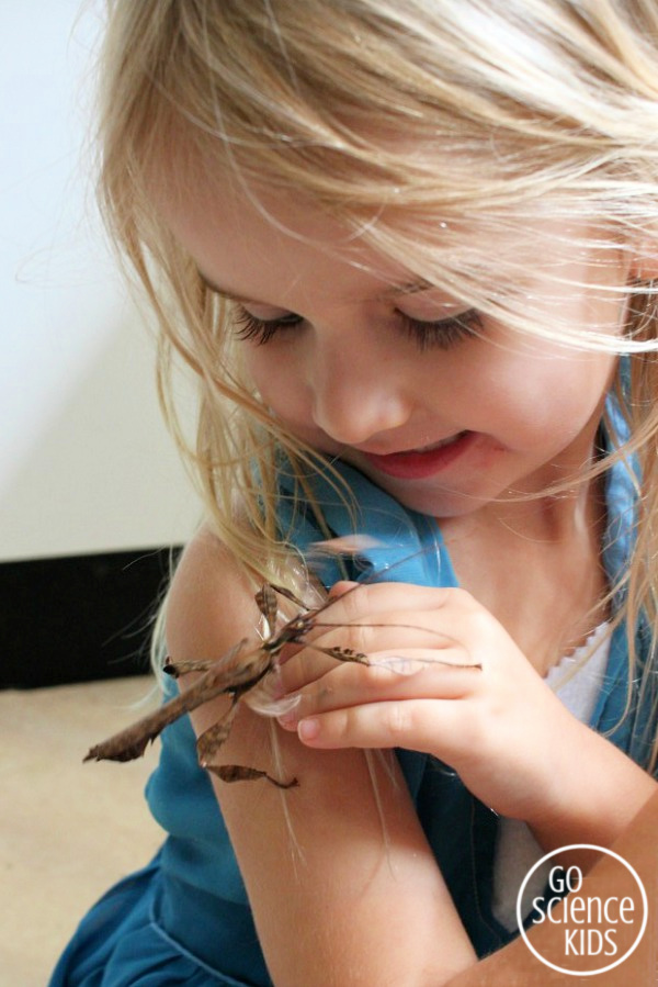 A preschool girl and her pet spiny leaf phasmid insect (adult male)