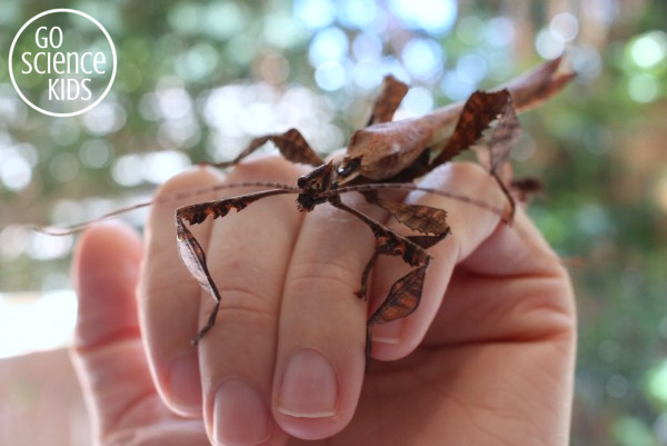 Adult spiny leaf insect (phasmid)