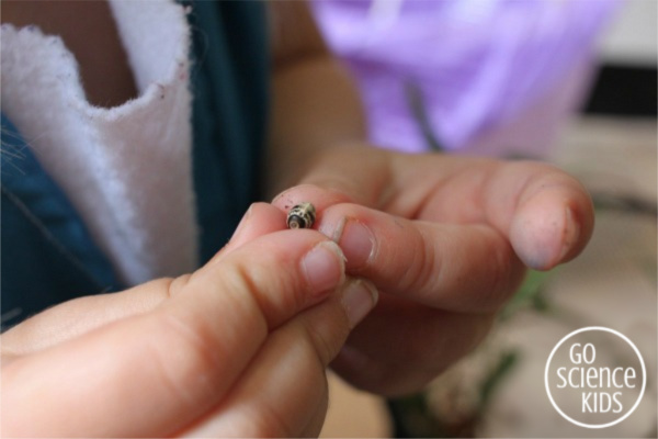Four year old holding a spiny leaf phasmid insect egg