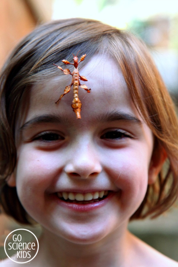 Spiny leaf phasmids make great insect pets for kids