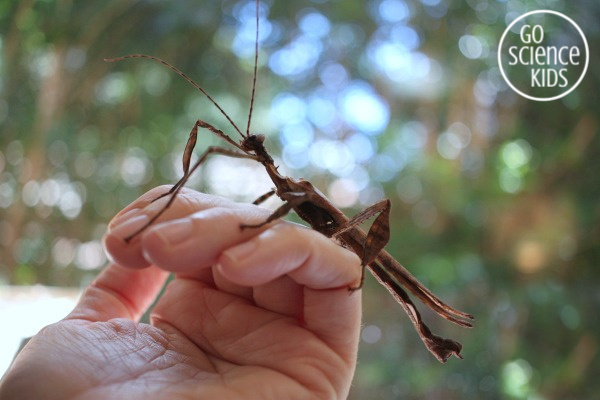 adult male spiny leaf phasmid