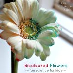 Bicoloured flowers - fun kids science experiment for spring by Go Science Kids